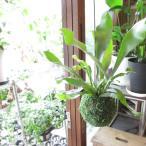 コウモリラン(ビカクシダ)の苔玉(ワイヤー吊り玉仕立て)Sサイズ 観葉植物 ミニ プレゼント ギフト 誕生日 開店祝い 引越し祝い 麋角羊歯