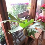 コウモリラン(ビカクシダ)の苔玉(ワイヤー吊り玉仕立て)Mサイズ 観葉植物 ミニ プレゼント ギフト 誕生日 開店祝い 引越し祝い 麋角羊歯
