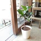 カシワバゴムの木 バンビーノ 曲がり仕立て 7号鉢サイズ 白色 セラアート鉢 鉢植え ゴムの木 送料無料 薫る花 観葉植物 おしゃれ インテリアグリーン ゴムノキ