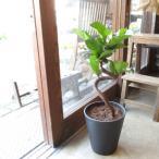 カシワバゴムの木 バンビーノ 曲がり仕立て 7号鉢サイズ 黒色 セラアート鉢 鉢植え ゴムの木 送料無料 薫る花 観葉植物 おしゃれ インテリアグリーン ゴムノキ