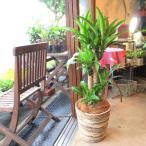 ドラセナ・マッサンゲアナ(幸福の木)8号鉢サイズ 観葉植物 ミニ インテリア プレゼント ギフト 誕生日 開店祝い 引越し祝い