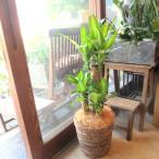 幸福の木 ドラセナ マッサンゲアナ 7号鉢サイズ 鉢植え 観葉植物 ミニ インテリアグリーン プレゼント ギフト 贈り物 お誕生日 記念日 開店祝い 引越し祝い