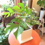 姫モンステラ白色スクエア陶器鉢植え 観葉植物 ミニ プレゼント 誕生日 開店祝い 引越し祝い 新築祝い ヒメモンステラ