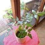ニームの木 4号鉢サイズ 防虫 虫よけ 虫除け 庭木 シンボルツリー ミラクルニーム ハーブ 観葉植物 ミニ インテリアグリーン 鉢植え