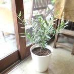 オリーブの木 2品種植え 7号鉢サイズ 白色 セラアート鉢 ホワイト 鉢植え 苗木 送料無料 薫る花 庭木 シンボルツリー 常緑樹 中型 小型