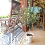 オリーブの木 5号鉢サイズ 鉢植え 苗木 オリーブ 送料無料 薫る花 庭木 シンボルツリー 常緑樹 中型 小型