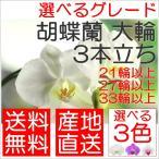 胡蝶蘭 大輪 3本立ち 21輪以上 27輪以上 33輪以上 花 フラワー プレゼント ギフト お誕生日 お祝い 開店祝い 移転祝い お供え コチョウラン こちょうらん
