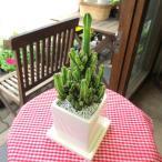 セレウスペルービアナス白色スクエア陶器鉢植え 観葉植物 ミニ インテリア プレゼント ギフト 誕生日 開店祝い 引越し祝い 電磁波サボテン