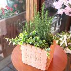 ローズマリーの寄せ植え(ビスケットスクエア鉢植え) 鉢花 花苗 フラワー プレゼント ギフト 贈り物 お誕生日 ガーデニング ハーブ 開店祝い 引越し 新築