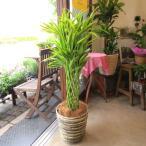 ミリオンバンブー ドラセナ サンデリアーナ 8号鉢サイズ 鉢植え 送料無料 薫る花 観葉植物 おしゃれ インテリアグリーン 大型 中型 プレゼント 開店祝い