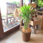ミリオンバンブー ドラセナ サンデリアーナ 6号鉢サイズ 鉢植え 送料無料 薫る花 観葉植物 おしゃれ インテリアグリーン 中型 小型 プレゼント 開店祝い