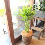 ミリオンバンブー ドラセナ サンデリアーナ 7号鉢サイズ 鉢植え 観葉植物 ミニ インテリアグリーン プレゼント ギフト 贈り物 お誕生日 記念日 開店祝い 引越し