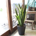 サンスベリア ローレンティー 8号鉢サイズ 黒色 セラアート鉢 鉢植え サンセベリア ローレンチー トラノオ 送料無料 薫る花 観葉植物 おしゃれ
