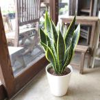 サンスベリア ローレンティー 7号鉢サイズ 白色 セラアート鉢 鉢植え サンセベリア ローレンチー トラノオ 送料無料 薫る花 観葉植物 おしゃれ