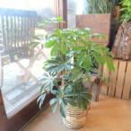 シェフレラ ホンコンカポック 6号鉢サイズ 鉢植え 観葉植物 ミニ インテリアグリーン プレゼント ギフト お誕生日 記念日 開店祝い 引越し祝い 香港カポック