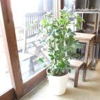 シェフレラ ホンコンカポック 8号鉢サイズ 白色 セラアート鉢 ホワイト 鉢植え 香港カポック 送料無料 薫る花 観葉植物 おしゃれ インテリアグリーン