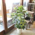 シェフレラ ホンコンカポック 斑入り 6号鉢サイズ 鉢植え 香港カポック 斑入りホンコンカポック 送料無料 薫る花 観葉植物 おしゃれ インテリアグリーン