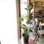 シーグレープ 6号鉢サイズ 鉢植え 観葉植物 ミニ インテリアグリーン プレゼント ギフト お誕生日 開店祝い ハマベノブドウ 浜辺ぶどう ハマベブドウ