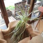 エアープランツ ストラミネア XXLサイズ エアプランツ プレゼント ギフト 贈り物 お誕生日 チランジア インテリアグリーン 観葉植物 種類 容器 壁掛け