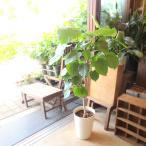 フィカス ウンベラータ 7号鉢サイズ 鉢植え 観葉植物 ミニ インテリアグリーン プレゼント ギフト 贈り物 お誕生日 記念日 開店祝い 引越し祝い 新築祝い
