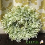 ジンジャーリース ホワイト クリスマスリース/花材/30cm / YDM クリスマス Xmas ハロウィン ジンジャーリース 土台 手作り 壁掛け ドアリース