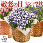 母の日 花 ギフト カーネーション ( 花鉢 鉢植え プレゼント フラワー 種類 高級 ) 4号 MDFV