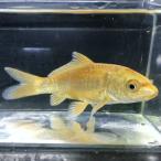 (錦鯉)ドイツ黄金(1匹) 【生体】