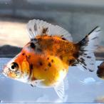 (金魚)だるま琉金 キャリコ  (1匹)【生体】