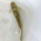 (淡水魚)ギバチ  M(1匹)【生体】