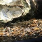 [淡水魚]アベハゼ(2〜4cm±)(1匹)