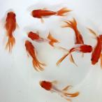 [金魚]更紗 琉金 (6cm±)(1匹)