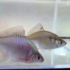 [淡水魚]タイリクバラタナゴ M(2〜4cm)(5匹セット)