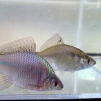 [淡水魚]タイリクバラタナゴ M(2〜4cm)(10匹セット)