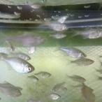 [淡水魚]ニッポンバラタナゴ(1.5-3.0cm±)(3匹セット)