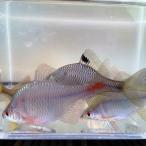 [淡水魚]タイリクバラタナゴ L(5cm前後)(オス1匹)