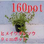Yahoo!Get!Plantsヒメイワダレソウ 160本セット リピア 除草対策に かわいい金平糖のようなお花