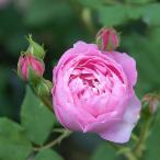 バラ 「ラレーヌヴィクトリア (ブルボン)」春苗 返り咲二季咲 [202008]
