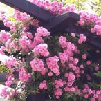 バラ秋大苗「マニントン モーブ ランブラー(R)」一季咲/つるバラ/クライミングローズ