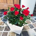 ミニバラギフトに。かわいいバラの鉢植え花色が選べる「リエールスクエア誕生日/お祝い/プレゼント