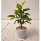 観葉植物インテリア「フィカス アルテシーマ L」鉢色は白か黒かが選べます誕生日・引越・新築・開店・お祝いに