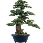 幹は自然木の松を使用。職人が創る人工観葉植物の特大盆栽です。
