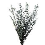 国産・ドライフラワー・天然素材・グニー・ユーカリ・全長50〜60cm・1束約4本セット(自然素材)(フラワーアレンジメント/ディスプレイ/花材)