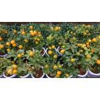 庭に植えると代々栄える縁起物の果樹『福寿金柑』