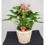 観葉植物 アンスリウムピンク バスケット付き送料無料 開店祝い 新築祝いにオススメ