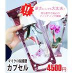椎名洋ラン園のマイクロ胡蝶蘭1本立「カプセル」