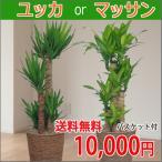 観葉植物 マッサン・ユッカ 8号鉢 バスケット付き 送料無料 即日発送の輝華 開店祝い 新築祝い