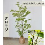 庭木 クロモジ 約120cm 送料無料 植木 ガーデニング シンボルツリー