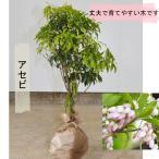 アセビ 30-50cm 送料無料 植木 庭木 低木 ガーデニング エクステリア