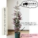 自信の自家生産 紅花トキワマンサク ポットモデル 120-150cm 送料無料 植木 庭木 シンボルツリー ガーデニング エクステリア 鉢植え