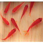 樹脂金魚 3D金魚 咲 手作り 還暦祝い 女性 男性 赤いもの プレゼント メッセージ おしゃれ 美術 工芸品 絵画 日本画